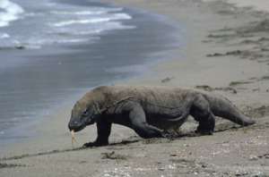 Some Asian wildlife, a Komodo Dragon