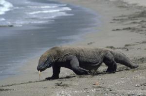 Some Asian wildlife, a Komodo Dragon